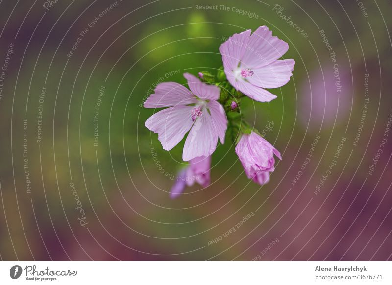 Blumenrosa sonniger Hintergrund. Zichorienblüten vereinzelt. Transparente schön Schönheit Blütezeit Überstrahlung botanisch Chicorée cichorium Farbe farbenfroh