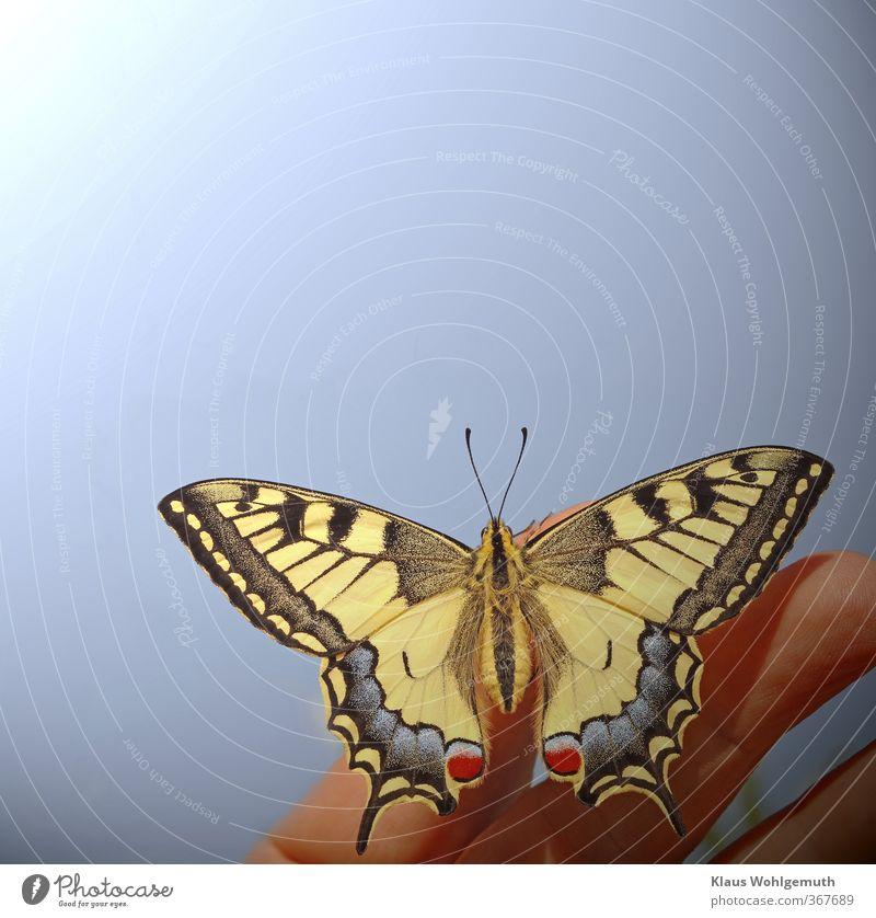 Hoffnungsträger Umwelt Natur Tier Himmel Wolkenloser Himmel Sonne Sommer Schönes Wetter Wildtier Schmetterling Flügel Schuppen 1 sitzen elegant exotisch schön