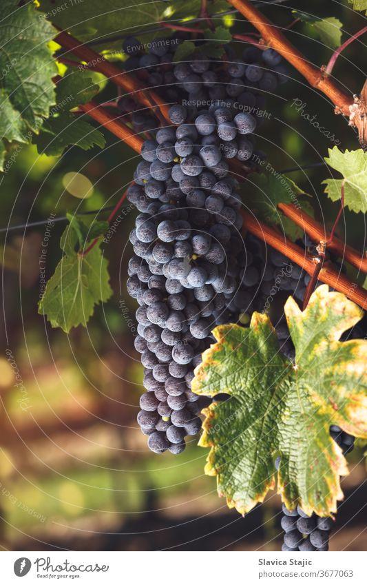 Reife Cabernet-Trauben auf einem Weinberg zur Zeit des Sonnenuntergangs Ackerbau Herbst Rücklicht schwarz blau Bordeaux-Wein Ast hell Haufen Cluster Land Ernte