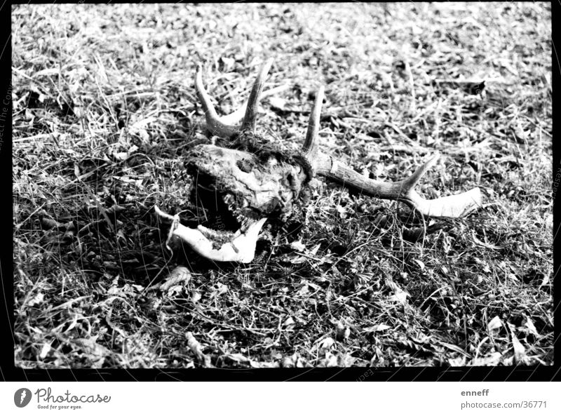 shoot`em up analog Hirsche Paddel Horn Wiese Tod ganz tot noch toter überaus tot Schwarzweißfoto bone bones Kontrast