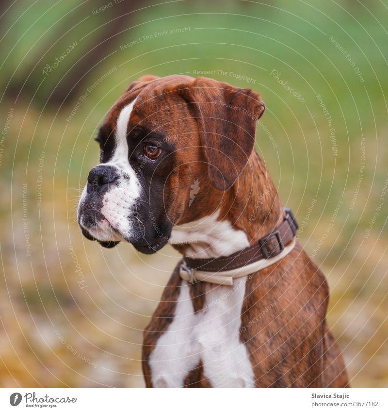 Porträt eines deutschen Boxerhundes auf einer Wiese sitzend, Nahaufnahme Tier Herbst Hintergrund schwarz züchten braun Eckzahn abschließen Hund Hündchen