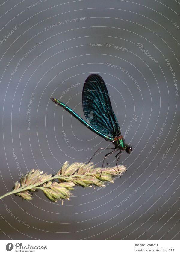 Calopteryx virgo Pflanze Bach Tier Libelle 1 sitzen Bachufer Flügel blau seitwärts Insekt Prachtlibellen Natur Außenaufnahme Farbfoto Nahaufnahme