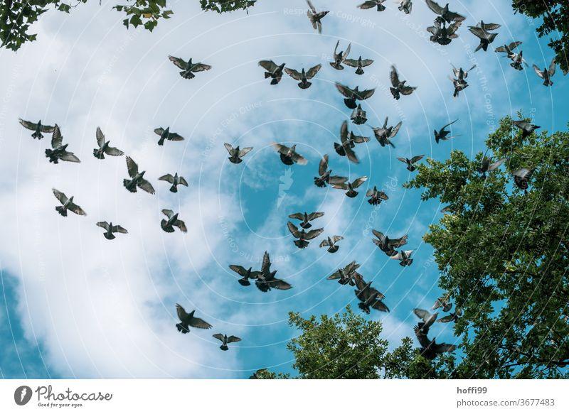 die Tauben fliegen im Schwarm Himmel Wolken Vogel Vogelschwarm Wildtier Tier Tiergruppe Freiheit