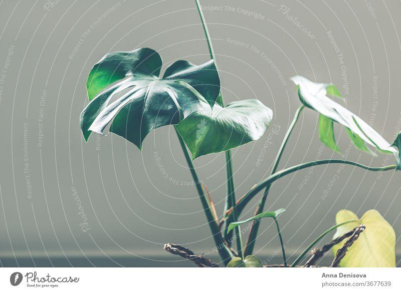 Echte Monsterblätter Blatt Fensterblätter Pflanze Garten Dschungel Laubwerk tropisch Natur geblümt grün Muster Tapete Dekor exotisch Botanik natürlich