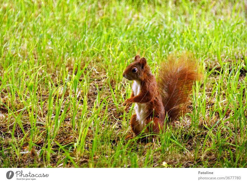Ein kleines Eichhörnchen beobachtet ganz aufmerksam seine Umgebung Jungtier Tier Natur niedlich Farbfoto 1 Wildtier Außenaufnahme Menschenleer Tag braun
