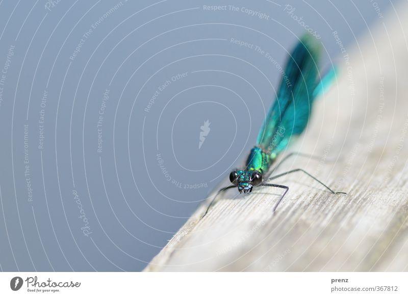 Prachtlibelle Umwelt Natur Tier Sommer Schönes Wetter Wildtier 1 blau grau Prachtlibellen Libelle Insekt Farbfoto Nahaufnahme Makroaufnahme Menschenleer