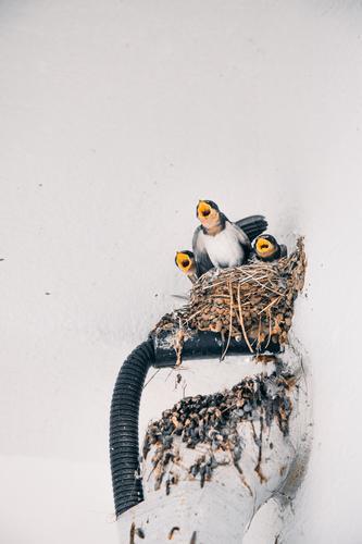 Junge Vögel zwitschern bei der Rückkehr ihrer Mutter Vogel Nest Jungtier Tier Natur Tierjunges Tierporträt Umwelt Küken Wildtier niedlich Schnabel Korea