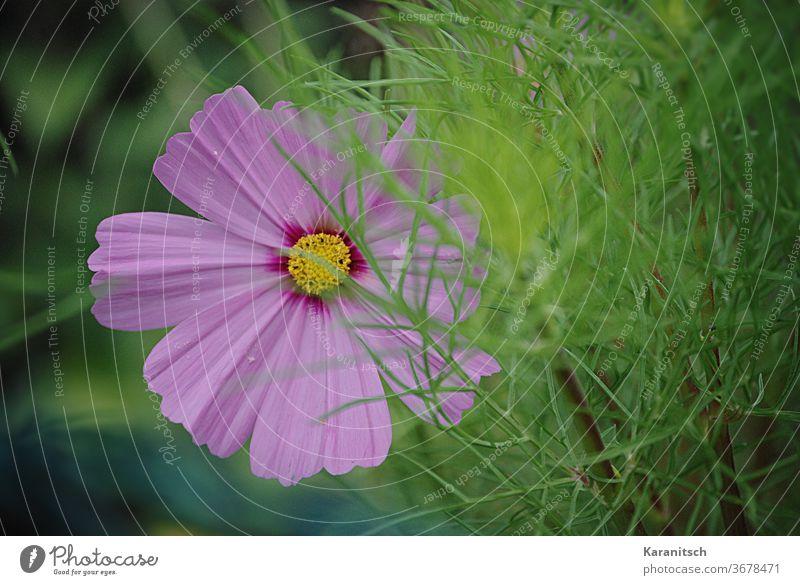 Nahaufnahme einer rosa Cosmea-Blüte. Schmuckkörbchen Korbblütler blühen Blume zart grün Garten Sommer Natur Blütenblätter Hintergrund gärtnern