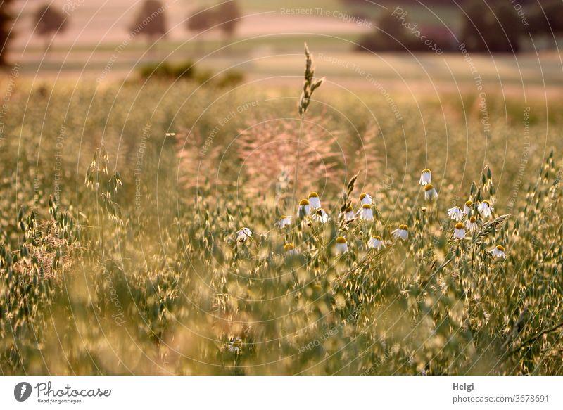 Abendsonne - Getreidefeld mit Hafer, Kamille und Gräsern im Abendlicht Kornfeld Bäume Gegenlicht Sonnenlicht Stimmung Abendstimmung Blume Blüte Kamillenblüte