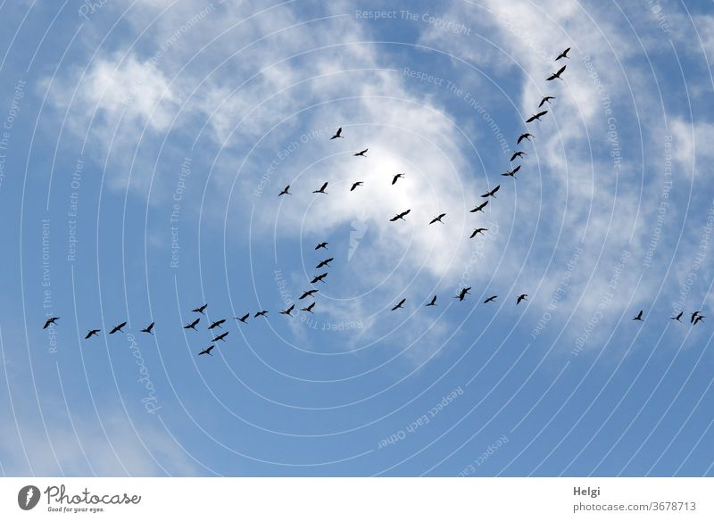viele Kraniche fliegen vor blauem Himmel mit Wölkchen | Vorfreude Vögel Zugvogel Vogelzug Wolken Schwarm Außenaufnahme Natur Farbfoto Menschenleer Wildtier