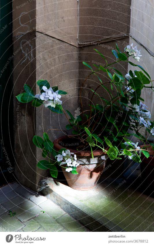 Pflanze im Hinterhof altbau außen brandmauer fassade fenster haus himmel himmelblau hinterhaus hinterhof innenhof innenstadt mehrfamilienhaus menschenleer