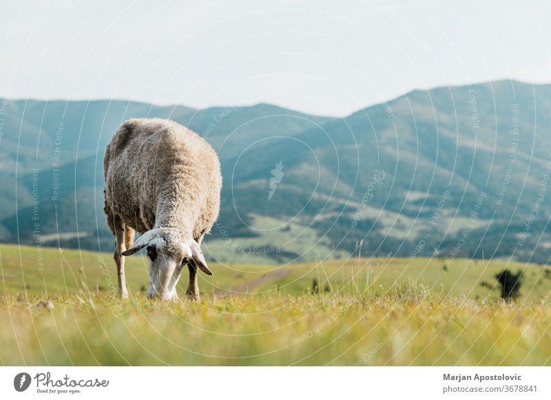 Schafe fressen an einem Sommertag Gras auf einer Wiese Tier schön Land Landschaft niedlich Tag heimisch Ökologie Umwelt Europa Bauernhof Landwirtschaft