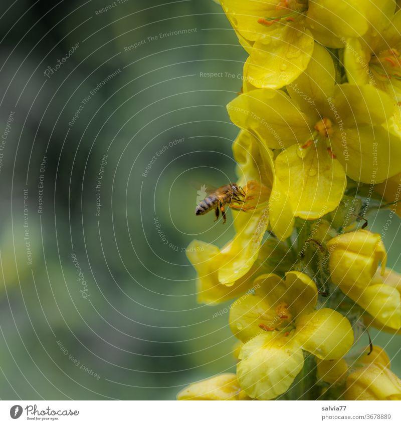 von Blüte zu Blüte Biene Natur Königskerze Blume gelb Insekt Sommer fliegen Makroaufnahme Nektar Pflanze Pollen Honigbiene Duft fleißig Blühend Nutztier Tier 1