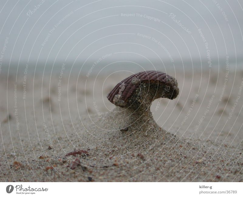 Muschel im Wind Meer Strand Sand Helm Sandverwehung