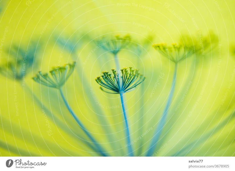 Dillblüte vor gelbem Hintergrund Pflanze Natur Doldenblüte Kräuter & Gewürze Dillblüten Nutzpflanze grün Makroaufnahme Unschärfe Hintergrund neutral
