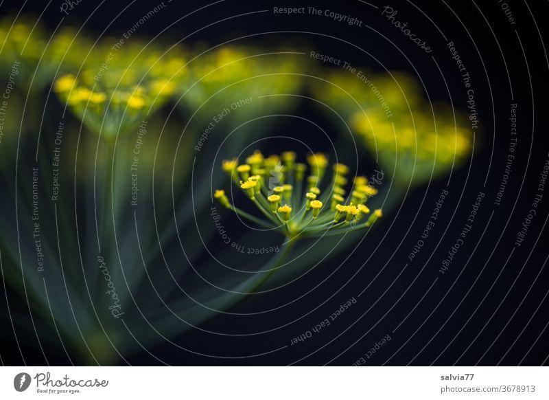 Dillblüte vor schwarzem Hintergrund Blüte Dillblüten Makroaufnahme Pflanze Kräuter & Gewürze Heilpflanze Kontrast Schwache Tiefenschärfe Natur Nutzpflanze