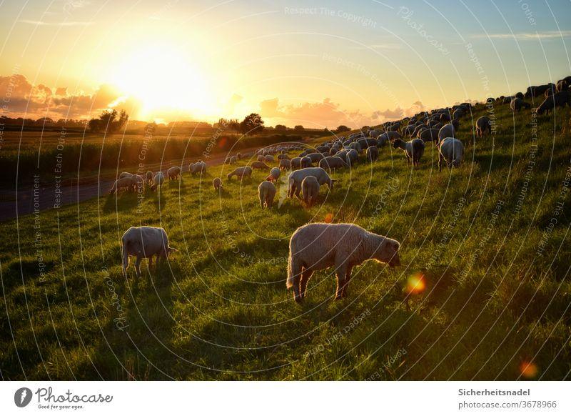 Schafe essen bei Sonnenuntergang Deich Nutztier Außenaufnahme Farbfoto Herde Landschaft Schafherde Menschenleer Tiergruppe Gegenlicht Landleben Sonnenstrahlen