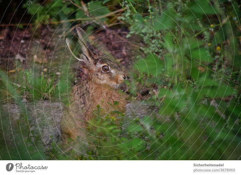 Hase hinter Gestrüpp Hase & Kaninchen Feldhase Außenaufnahme Tierporträt Wildtier Menschenleer Farbfoto Natur Gras neugierig wachsam