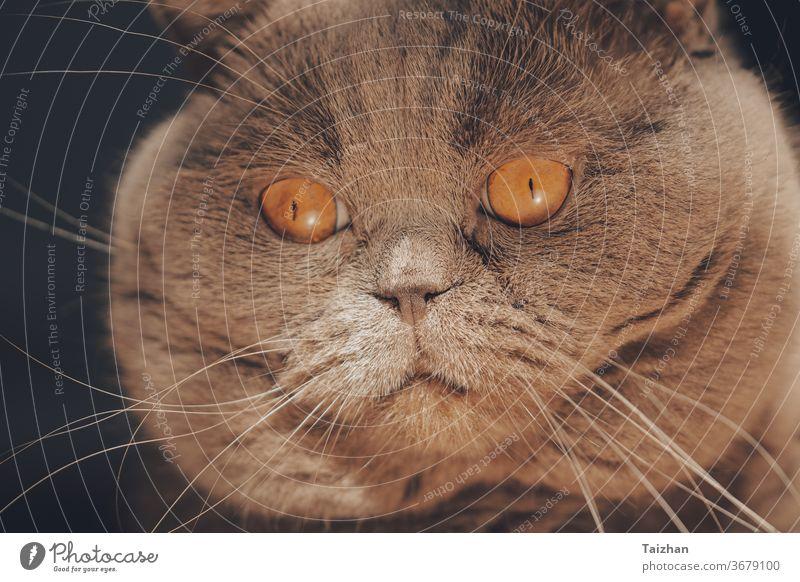 Nahaufnahme-Porträt der Schottischen Katze mit großen orangefarbenen Augen. Fettes Katzengesicht Lügen Haustier Reinrassig katzenhaft fluffig Fell grau züchten