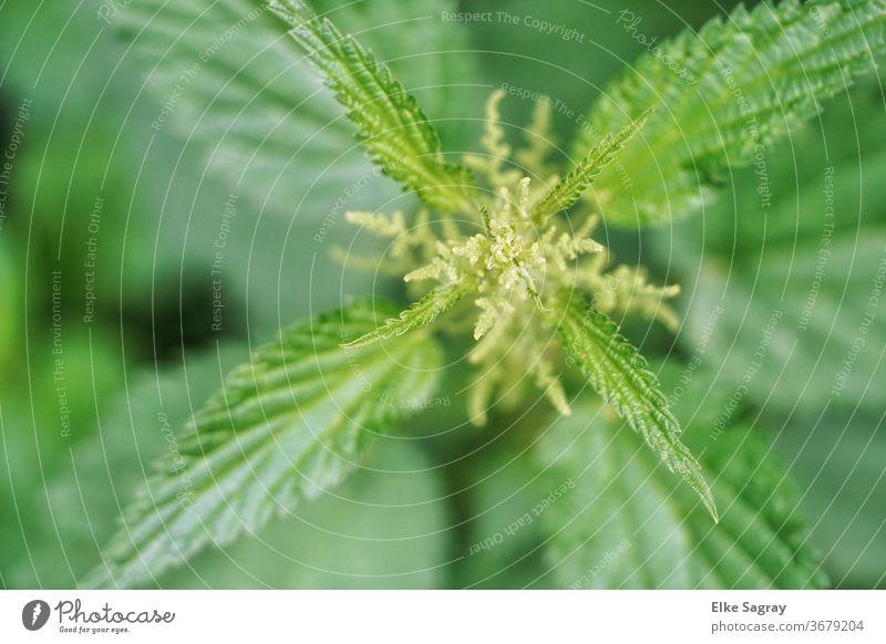 Brennnessel -blühend Wildpflanze Pflanze Natur Farbfoto Außenaufnahme Umwelt Grünpflanze