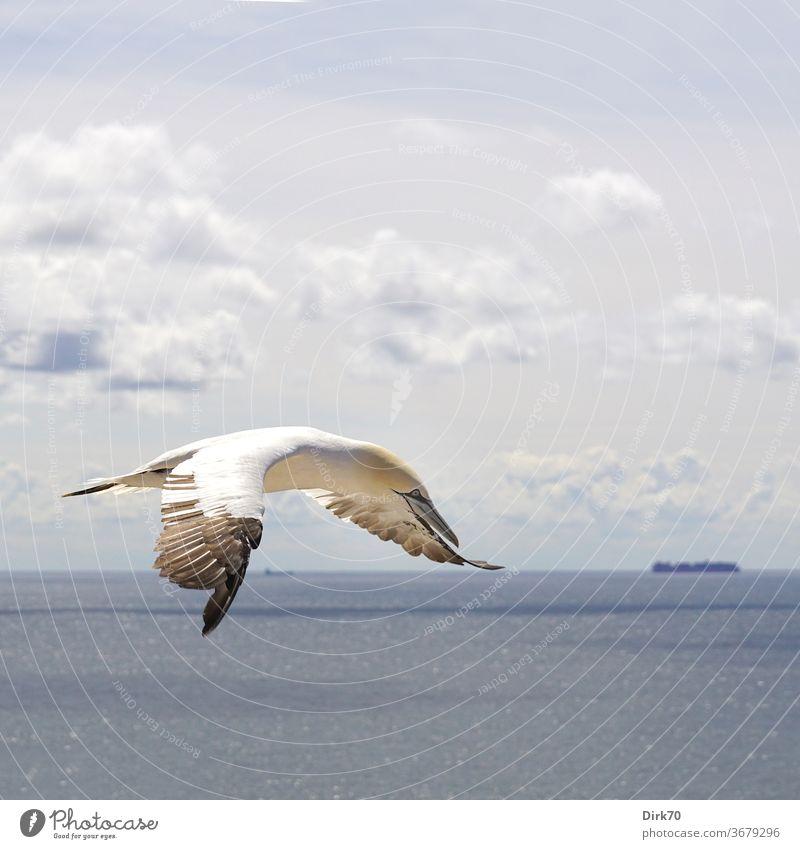 Basstölpel im Flug Tölpel (Vogelart) fliegen Tier Natur Farbfoto Außenaufnahme Wildtier Tag Menschenleer Umwelt natürlich frei Freiheit Luft Himmel