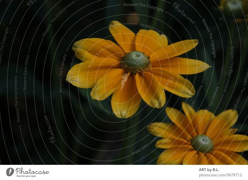 gelbe Rudbeckia mit einem dunklen Hintergrund im Garten gelbe Blüte blume schönheit ausschnitt nahaufnahme flower yellow rudbeckia sonnenhut heilen heilpflanze