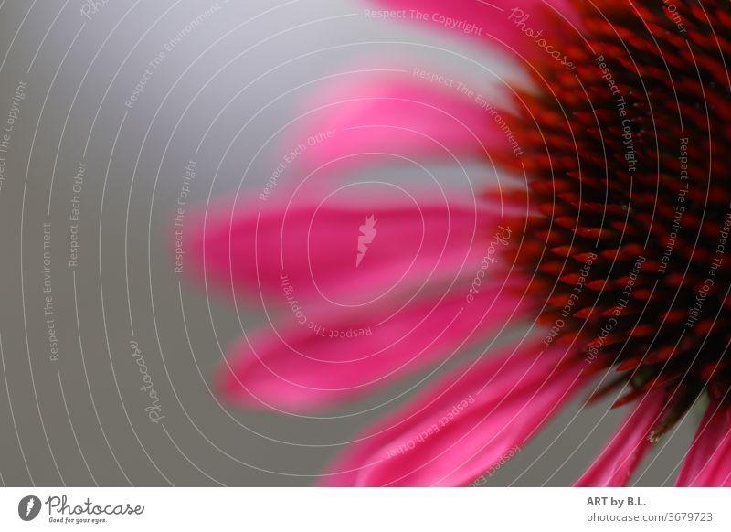 pink Rudbeckia mit einem hellem  Hintergrund im Garten blume schönheit ausschnitt nahaufnahme flower rudbeckia sonnenhut heilen heilpflanze lila blüte