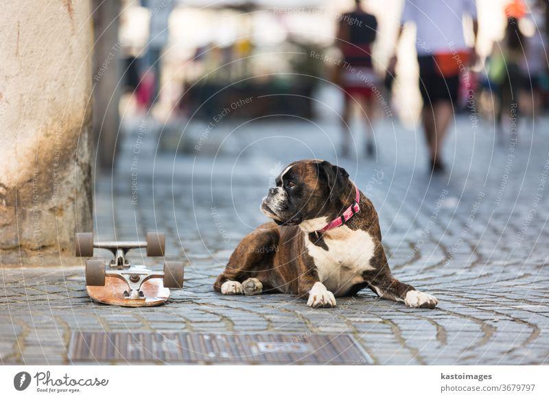Schöner deutscher Boxerhund mit rotem Halsband, der draußen auf der Straße liegt und das Skateboard seines Besitzers bewacht Hund Tier Porträt heimisch braun