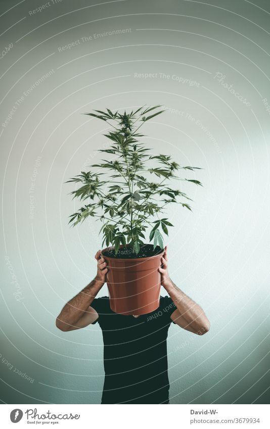 Mann versteckt sich hinter einer Marihuanapflanze Marihuana-Knospen Cannabis Cannabisblatt Cannabispflanze thc Drogen illegal Gesundheitswesen forschung Krebs
