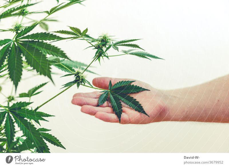 marihuana - Pflanze | Mann hält Blatt in einer Hand Marihuana Marihuana-Knospen Cannabis Cannabisblatt Cannabispflanze thc Drogen illegal Gesundheitswesen