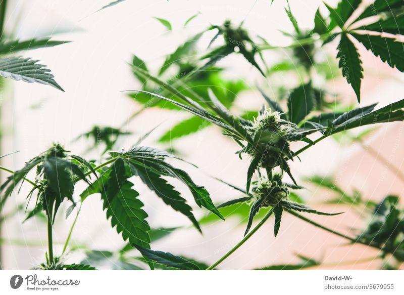 Marihuana-Knospen kurz vor der Ernte Cannabis Cannabisblatt Cannabispflanze thc Drogen illegal Gesundheitswesen forschung Krebs Medikament