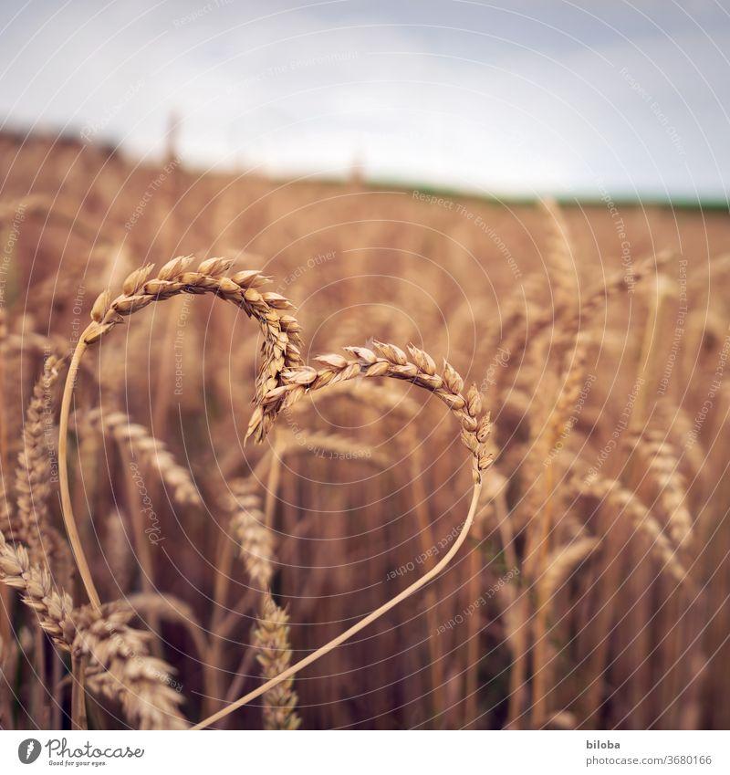"""Landliebe: Heute mit Herz im Kornfeld Getreide Liebe herzlich herzlichen Dank Dankbar Dankbarkeit Glückwunsch von herzen Cerealien"""" Ernährung Gesundheit gesund"""