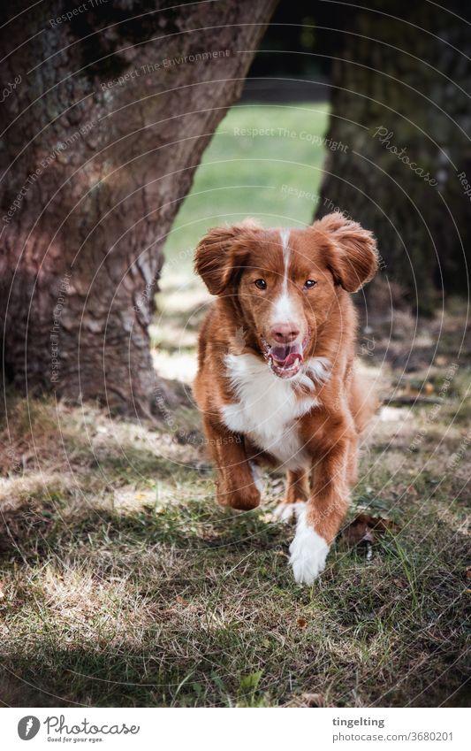 Nova Scotia Duck Tolling Retriever im Laufen Porträt Tierporträt Hund laufen rennen wald bäume wiese glücklich blick in die kamera Textfreiraum oben