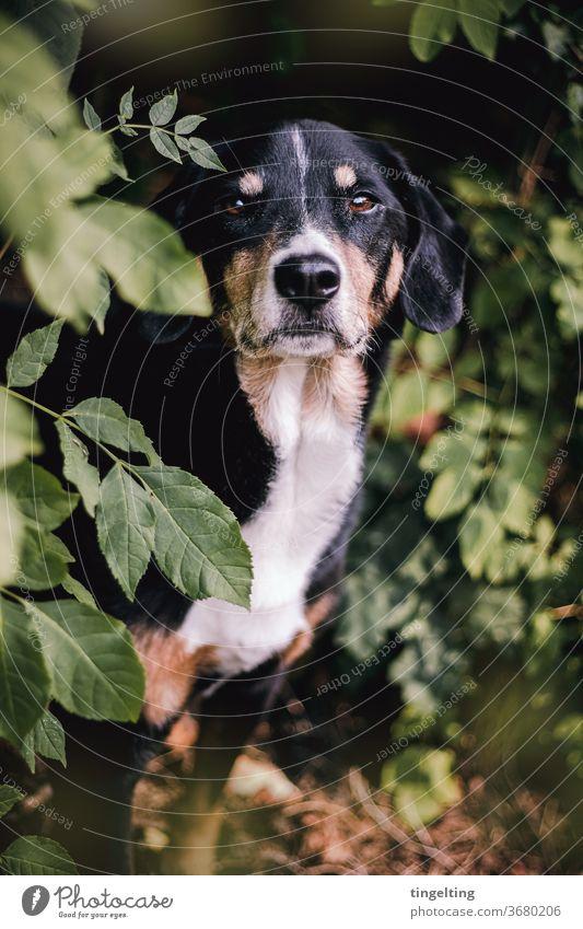 Appenzeller Sennenhund im Wald haustier wald bäume blätter Porträt Tierporträt zutraulich süß brav grün schwarz Textfreiraum unten Textfreiraum oben gebüsch