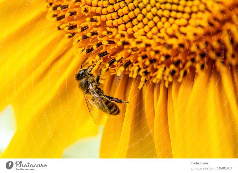 antizyklisch SONNtag Nektar Honig Pollen Tier Sonnenblume Nahaufnahme Wiese schön Landschaft Garten Hummel Biene fliegen Flügel Blütenblatt Umwelt Wärme