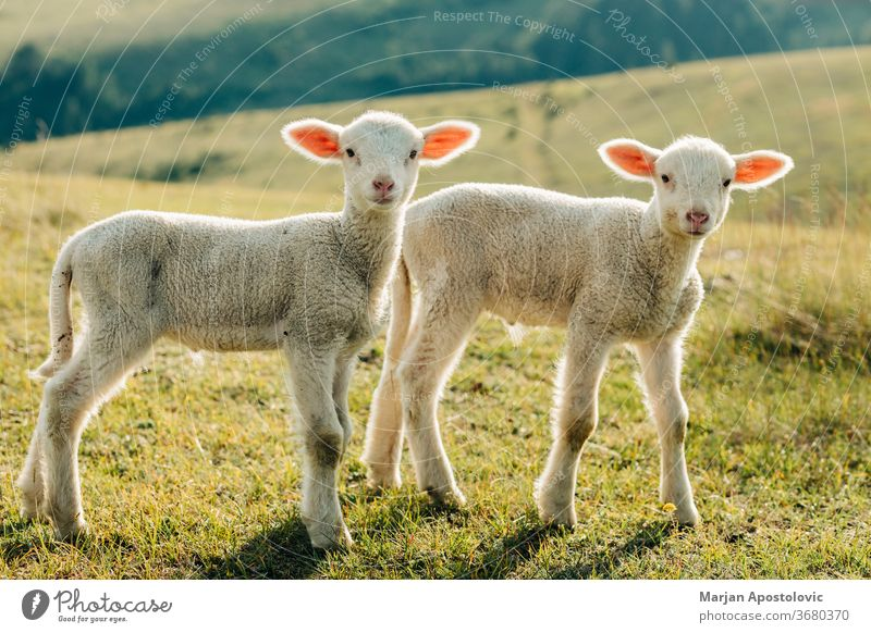 Zwei Lämmer auf der Wiese an einem sonnigen Tag Tier Baby schön heiter Landschaft niedlich heimisch Umwelt Bauernhof Landwirtschaft Ackerland Feld fluffig Fell