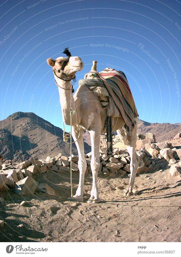 Kamel blau Stein Verkehr Wüste Ägypten