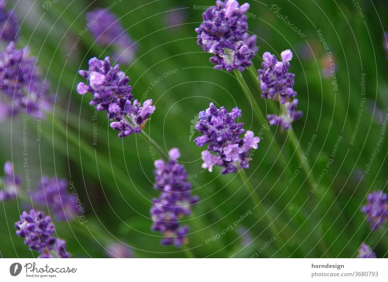 Lavendel Blüte lila Natur Pflanze Blume violett Blühend Duft Sommer Nahaufnahme Makroaufnahme Heilpflanzen Schwache Tiefenschärfe Garten Außenaufnahme Farbfoto