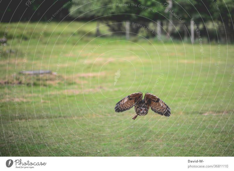 Eule im Anflug fliegt fliegen Tiefflieger Flug Flugverkehr Flugplatz Tier Vogel Flügel fliegend Eulenvögel groß schön draußen grün Wildtier Außenaufnahme Natur