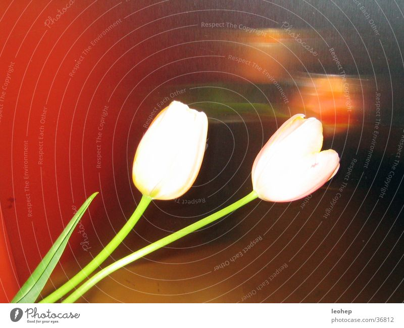 tulpenspiegelung weiß Küche Häusliches Leben Tulpe Edelstahl