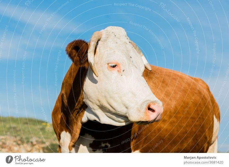 Nahaufnahme einer braunen und weißen Kuh Tier Tiere Rindfleisch Land Landschaft Kühe niedlich Molkerei Tag heimisch Umwelt Europa Bauernhof Landwirtschaft