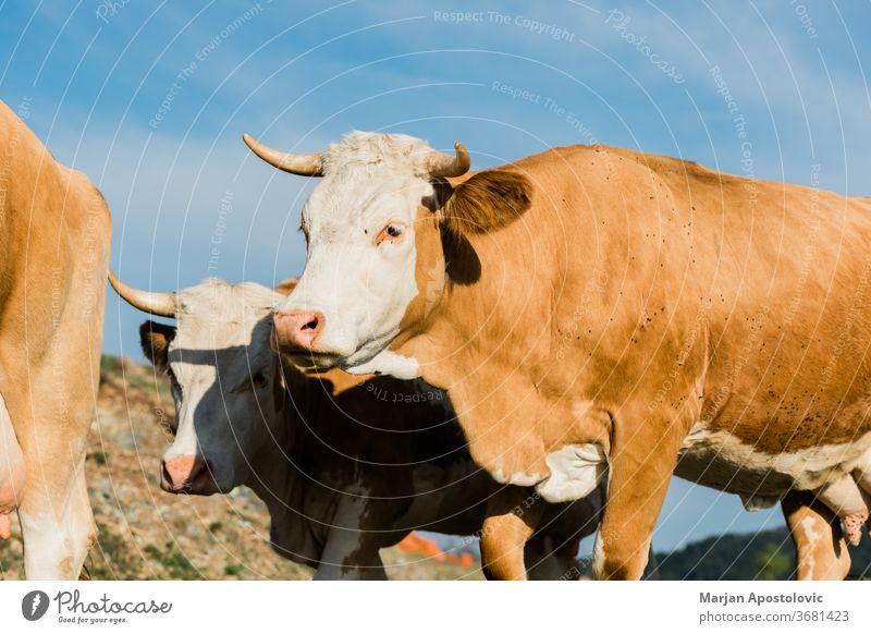 Nahaufnahme von braunen und weißen Kühen Tier Tiere Rindfleisch Land Landschaft Kuh niedlich Molkerei Tag heimisch Umwelt Europa Bauernhof Landwirtschaft