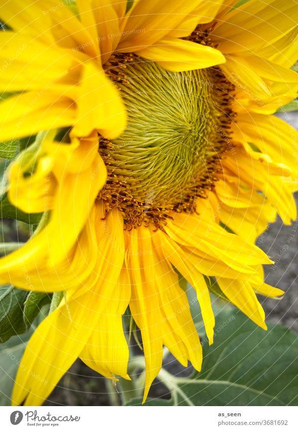 Sonnenblume Blüte gelb Sommer Herbst Inneres Sonnenblumenkern Pflanze Blume Natur Außenaufnahme grün Sonnenlicht schön natürlich Blütenblatt Blatt ornange hell