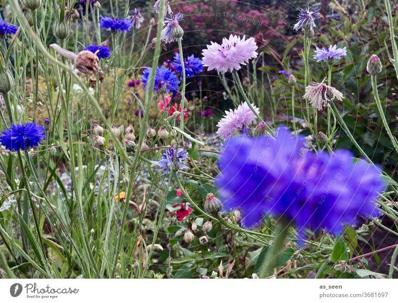 Blumen im Garten Blumenwiese Kornblume Feldrand bunt lila blau grün rosa pink Sommer Sommerwiese wild Natur Pflanze Blüte Blühend Wiese Farbfoto Außenaufnahme