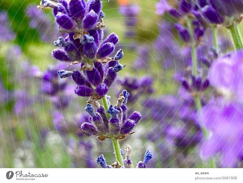 Lavendel lila violett Pflanze Blüte Natur Duft Blume Sommer Farbfoto Außenaufnahme Schwache Tiefenschärfe Blühend Garten Nahaufnahme grün Menschenleer Umwelt