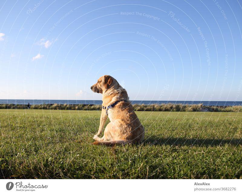 2000! - Der beste Hund der Welt - Ein Blonder Labrador sitzt auf einer Wiese auf dem Deich vor der Ostsee und schaut in die Ferne blond Tier Haustier stark