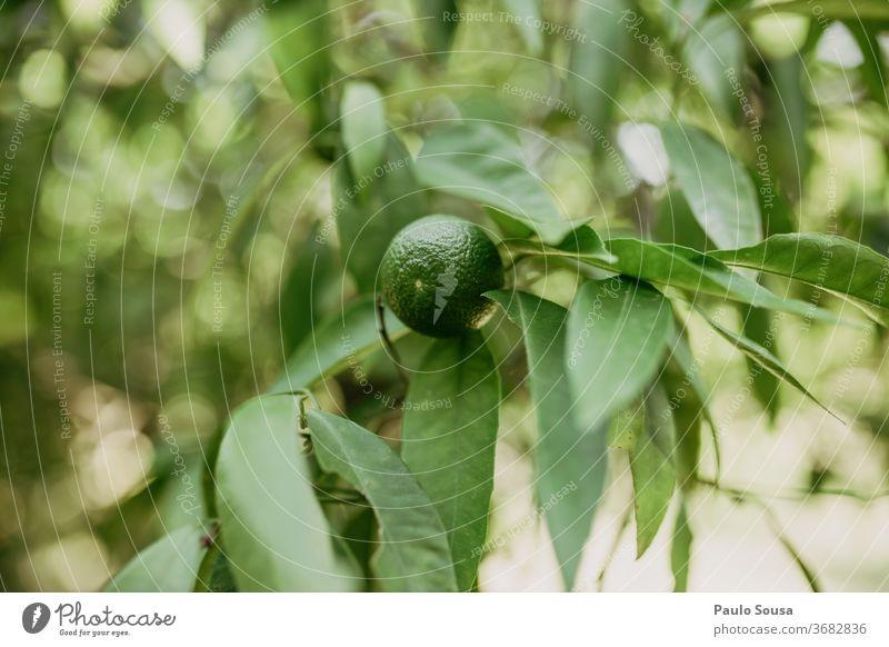 Unreife Orange am Baum unreif orange Orangenbaum Zitrusfrüchte Frucht fruchtig Nahaufnahme Vitamin C Farbfoto Saft gelb Ernährung Gesunde Ernährung Gesundheit