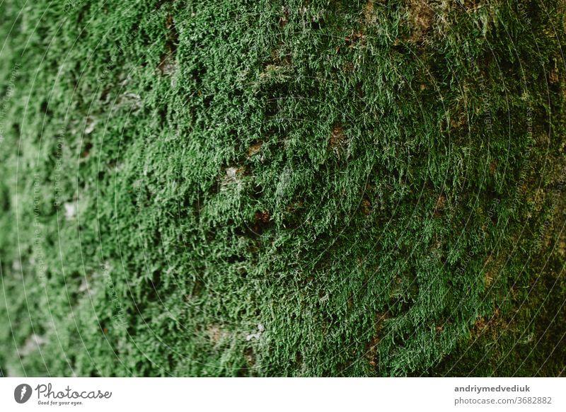 Nahaufnahme von grünem Moos auf Holz in der Regenzeit,selektiver Fokus,Umweltkonzept,Kopierraum. Grüne Rinde auf Baumstamm in Nahaufnahme. Moos wächst stark auf der Rinde dieses Baumes