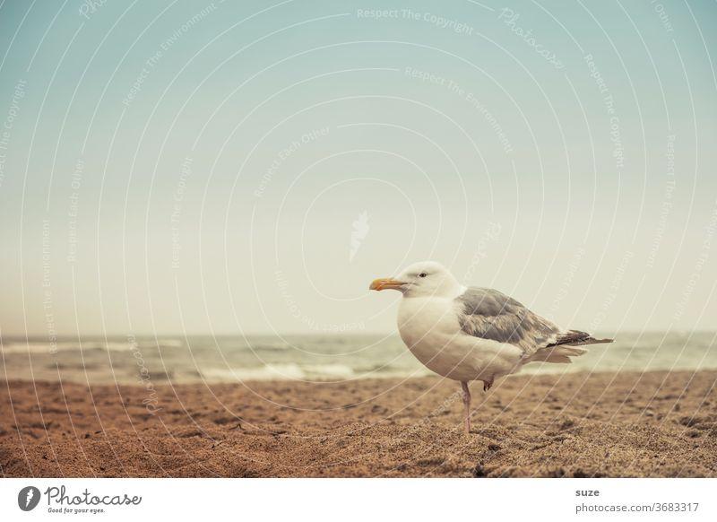 Schweigsame Möwe mit Wetterfühligkeit im linken Bein am Strand Möwenvögel Silbermöwe trüber Tag Ostsee ostseeküste Ostseestrand Sandstrand Wasser Meer Küste