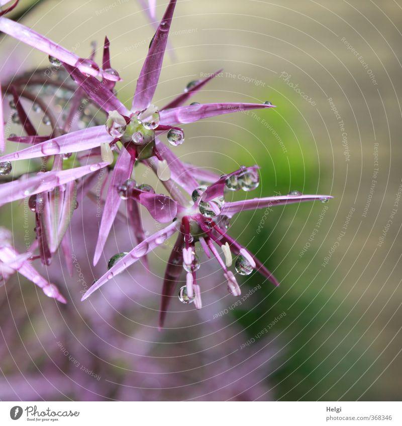 raindrops... Umwelt Natur Pflanze Wassertropfen Frühling Regen Blume Blüte Porree Zierpflanze Garten Blühend glänzend hängen ästhetisch außergewöhnlich